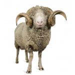 wool is ideal allergy proof bedding fiber